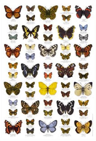 schmetterlinge butterflies poster im kinderpostershop. Black Bedroom Furniture Sets. Home Design Ideas