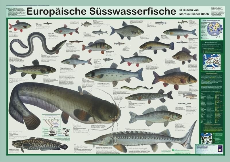 europ ische s wasserfische poster im kinderpostershop kaufen. Black Bedroom Furniture Sets. Home Design Ideas