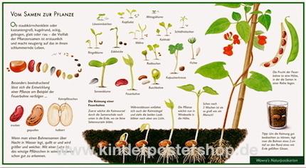 Vom Samen Zur Pflanze