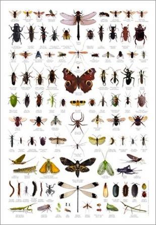 insekten und spinnen poster viele wissensposter im kinderpostershop. Black Bedroom Furniture Sets. Home Design Ideas