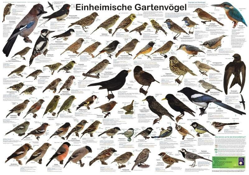heimische vögel bestimmen bilder