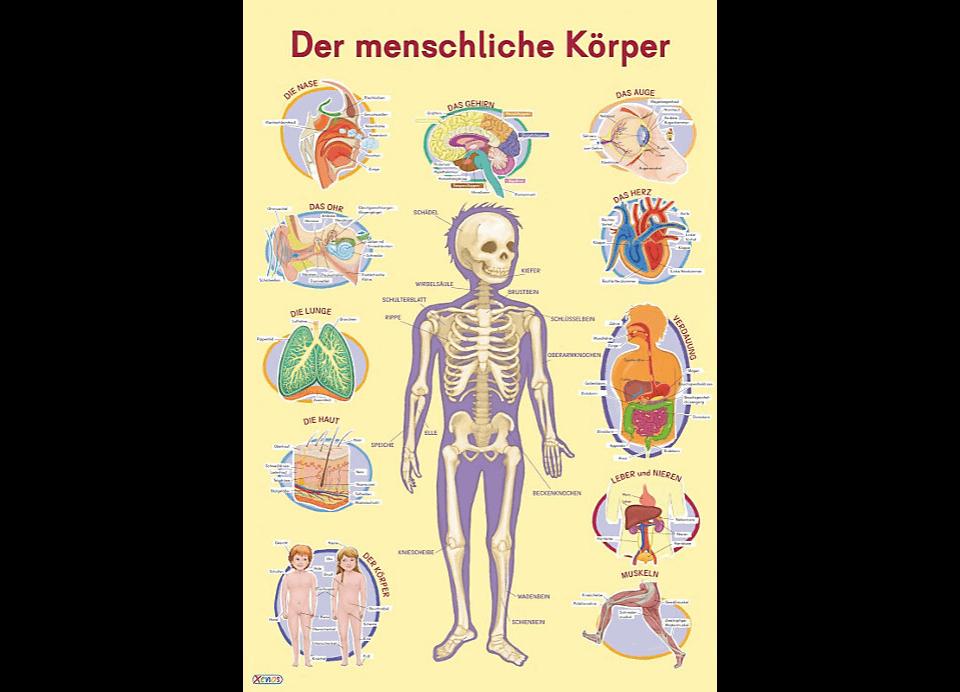 Der menschliche Körper - Wissensposter für Kinder | Kinderpostershop