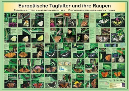 European butterflies and their caterpillars