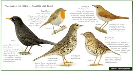 Blackbird , Thrush and Nightingale