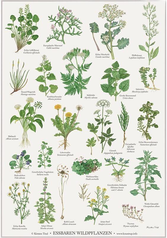 essbare wildpflanzen poster f r deko home im kinderpostershop bestellen. Black Bedroom Furniture Sets. Home Design Ideas