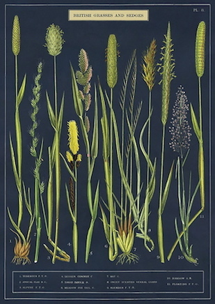 BRITISH GRASSES AND SEDGES